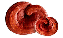 reishi mushroom used for rise and grind hot chocolate