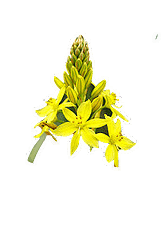 picture of bulbine natalensis in the rise and grind elixir primal herb formulation