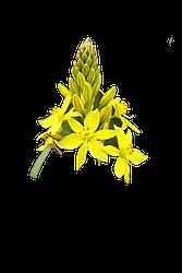 Bulbine_bulbosa_flower