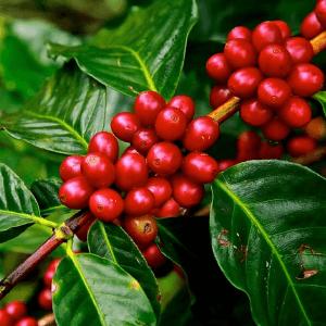Coffee Cherrys in Grind and grind elixir