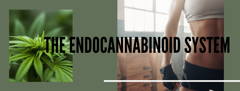 how CBD supports the endocannabinoid system